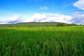 Arsénico en el arroz